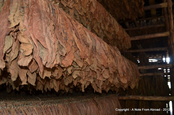 Drying barn filled with tobacco leaves