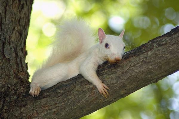 White squirrel in Olney -  photographer unknown
