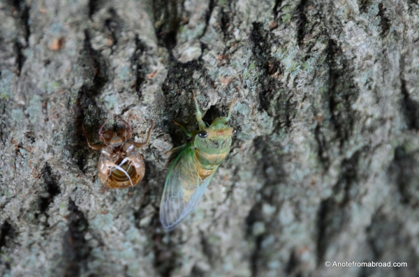 Adult Cicada next to shell