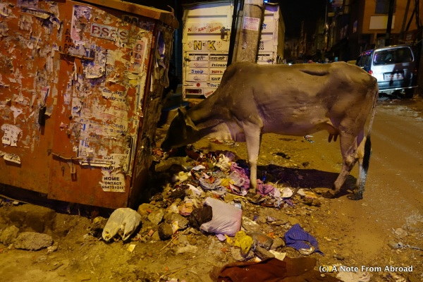 Cow roamed down the street, stopping occasionally to eat from street trash.