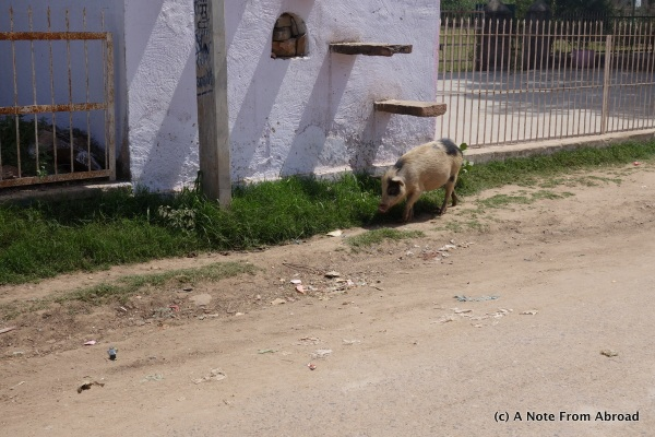 Pigs roam free as do all other animals