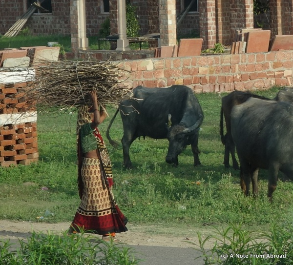 Carrying a load of sticks on her head past water buffalo