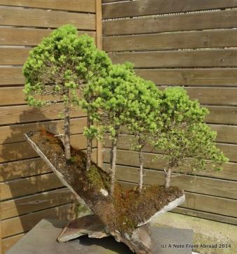 Alberta White Spruce