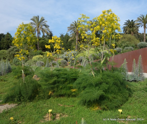 Giant fennel from Canary Islands