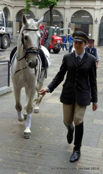 Lipizzan stallion with female rider