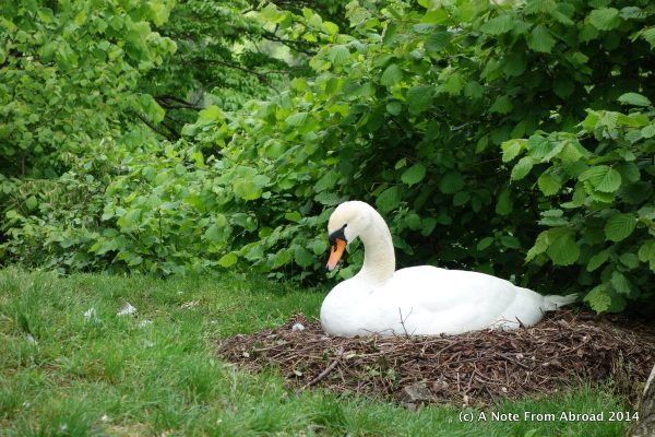 We were welcomed by a nesting swan