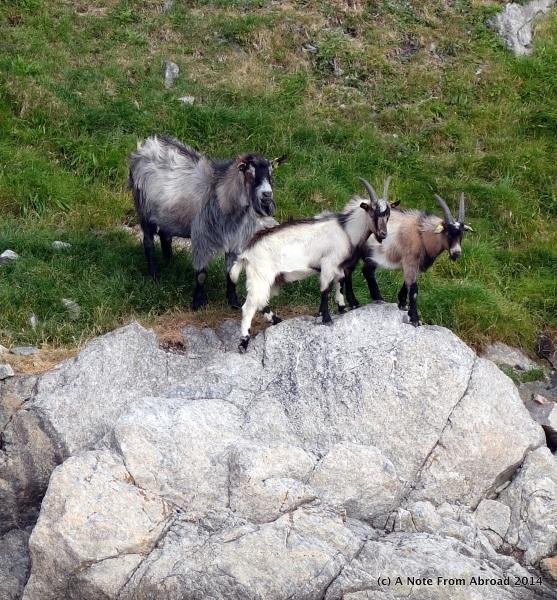 Three wild goats