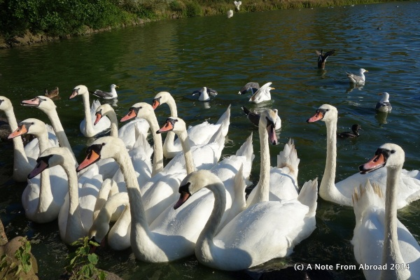 Swans looking for a handout