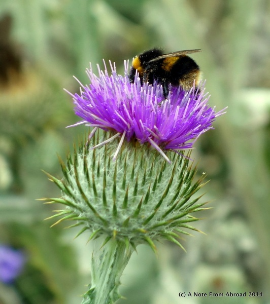 The thistle is the symbol of Scottland