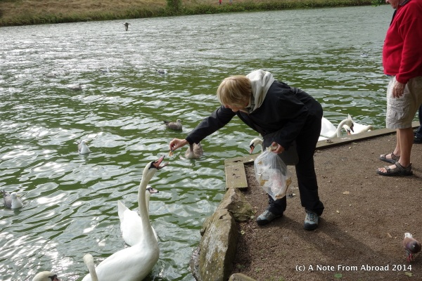 The swan ate out of my hand