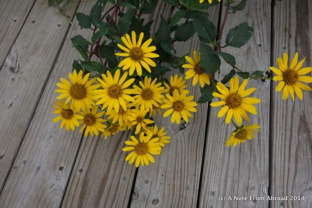 Daisies on the boardwalk