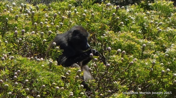 Large baboon eating soft pods off of the plants