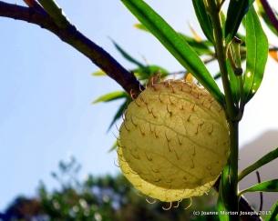 Balloon Milkweed