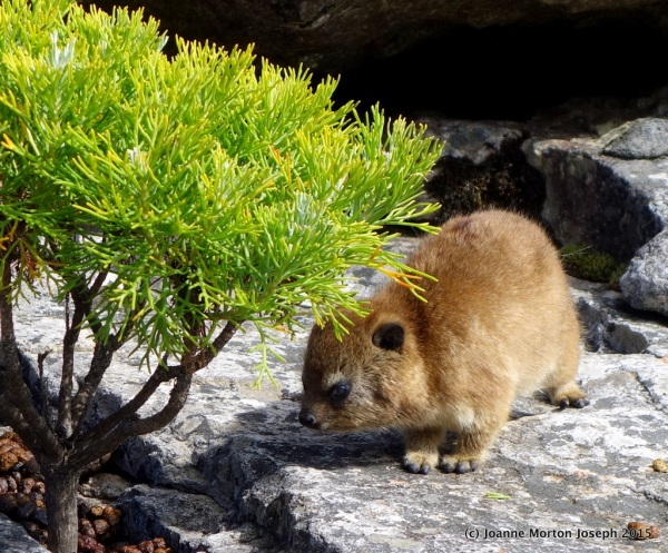 Young Rock Hyrax (closest living relative to the elephant!)
