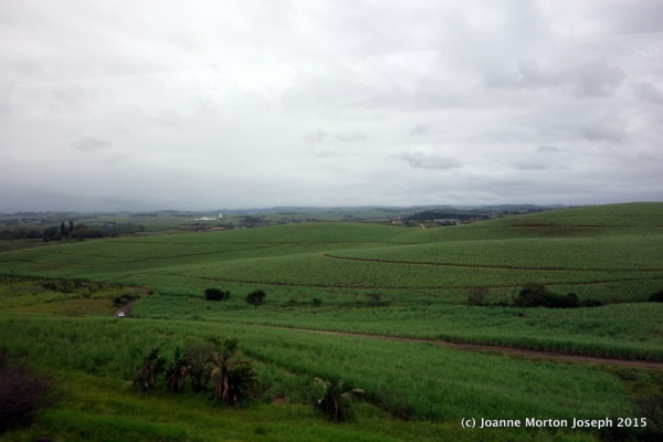 Country side with sugar cane crops
