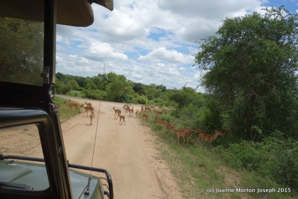 An entire herd of Impala