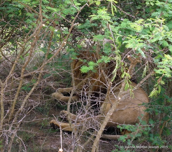 Hidden in the brush right beside the road. Very hard to see this large male lion.