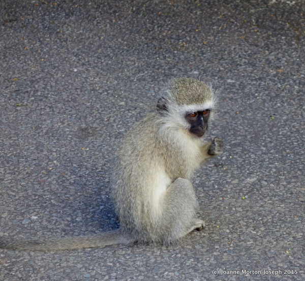 Vervet Monkey - why are these little guys so darn cute?