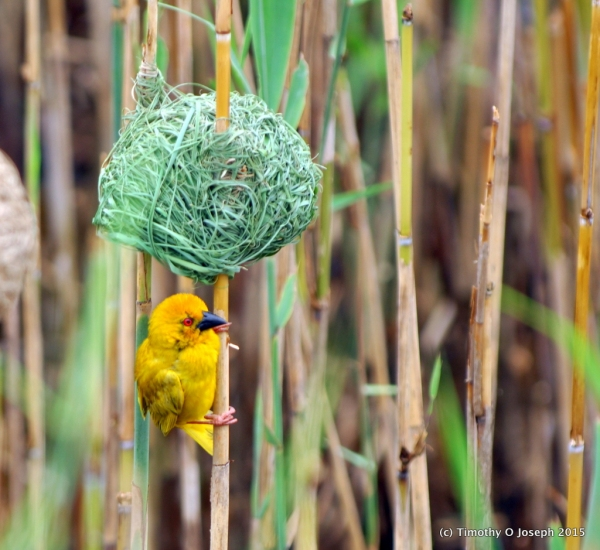 Weaver bird and brand new nest