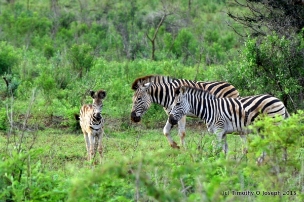 baby zebra with adults