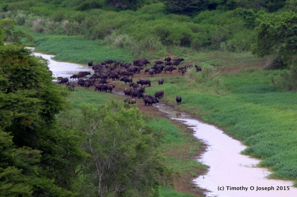 Cape buffalo at a watering hole