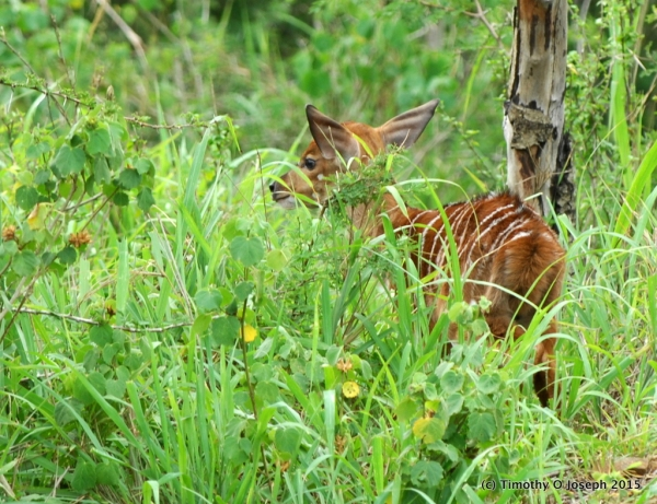 New born Nyala (probably only a couple of hours old)