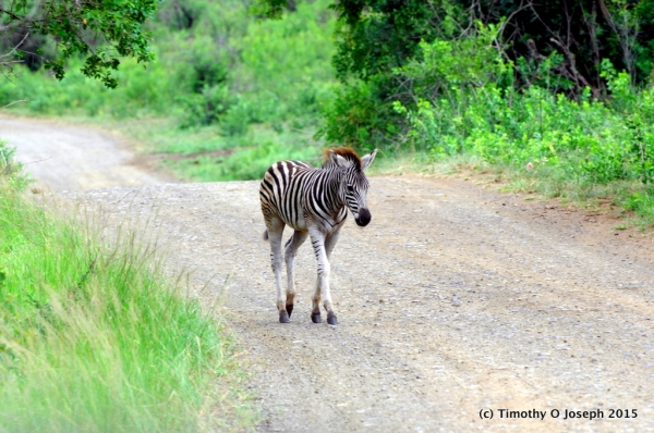 Baby zebra just walking down the road