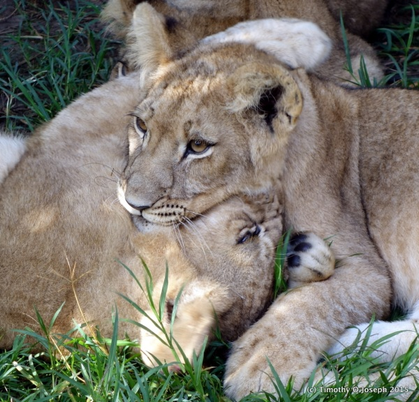 Playing with the lion cubs