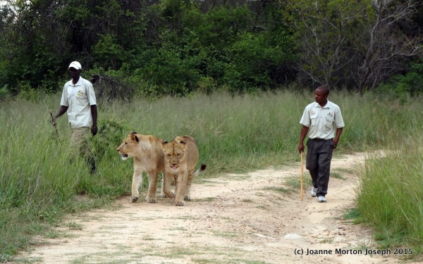 Our two lions being brought to join us for a walk. Two lions per 5-6 people, plus two handlers and our guide.