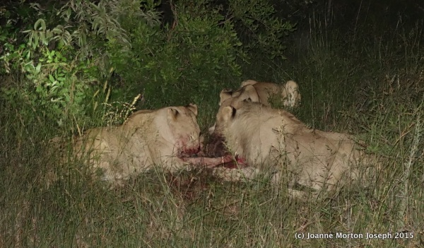 They had brought down a young wildebeest