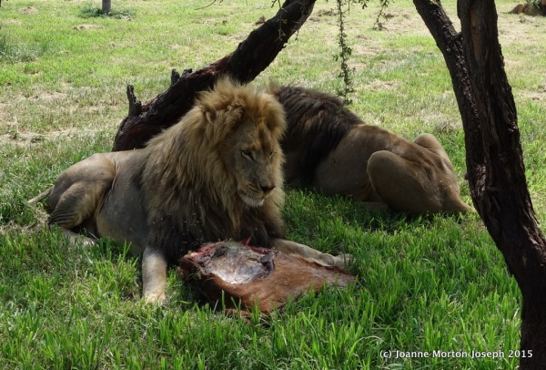 Less dominate males took a chunk of meat and then left the bulk for the more dominate male of the pride
