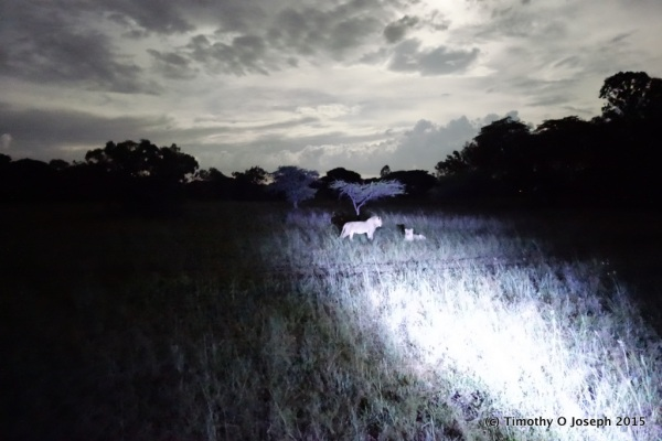 Lions in the spotlight