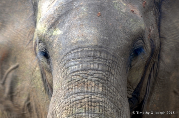 African Elephant, up very close and personal