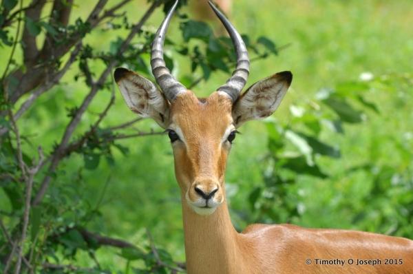 Young male Impala