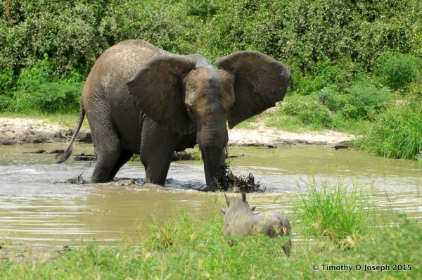 Elephant and warthog having a showdown