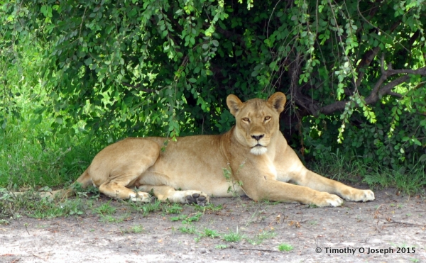 Lioness relaxing in the shade