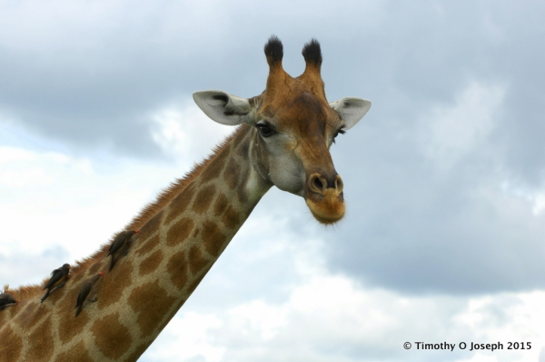 Birds on the giraffes neck will help by eating the ticks and other bugs.
