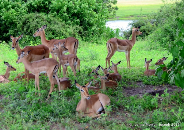 Impala nursery. The adult females stand guard, one facing each direction with the babies in the center