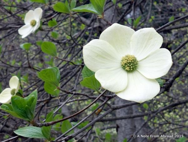 Mountain Dogwood bloom