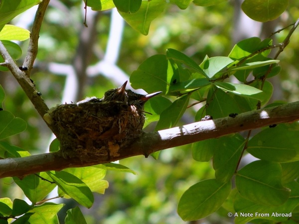 Two baby hummingbirds in the nest