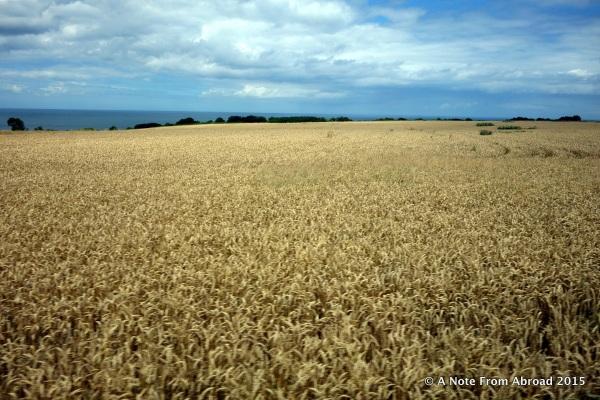 Fields of grain (wheat?)