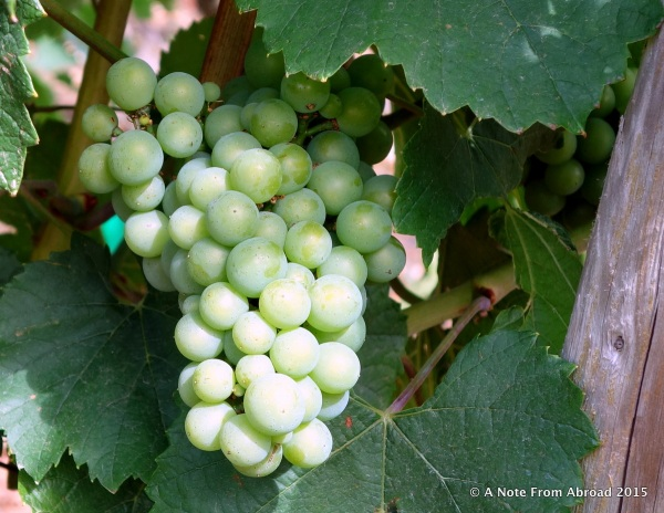 It was a little too early for harvest, but the vines were heavy with grapes