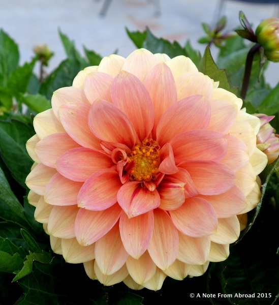 Dahlias are in bloom