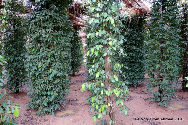 Pepper corns are grown on tall, slender trees (or bushes) and can produce for up to 20 years, however the prime crop is when the plant is about 14 years old.