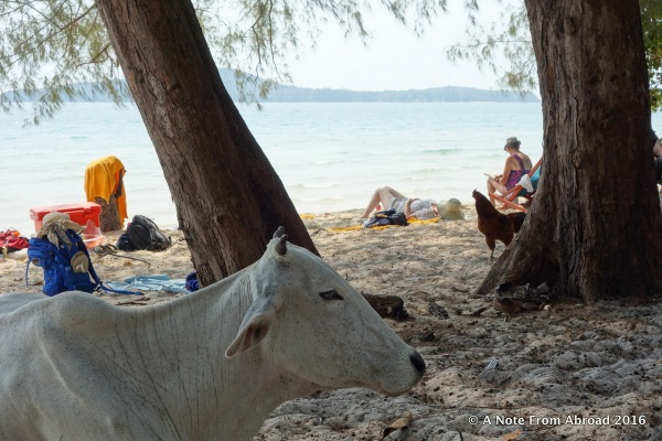 Cows and chickens joined us on the beach