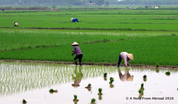 Planting rice by hand, one small bundle at at time
