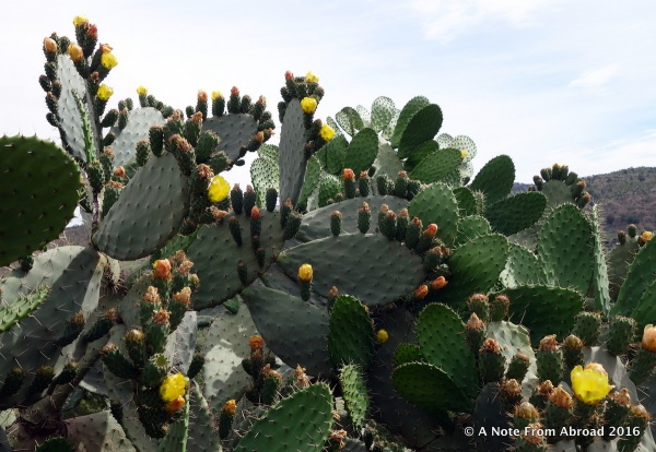 Prickly Pear cactus. They eat the fruit.