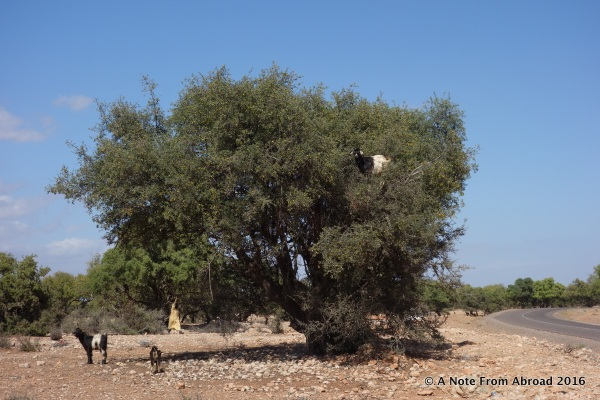 Arian trees with goats out on the limbs eating the fruit