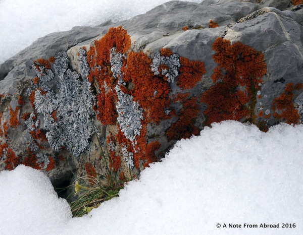 Brilliantly colored moss and liken on rocks peaking out through the snow