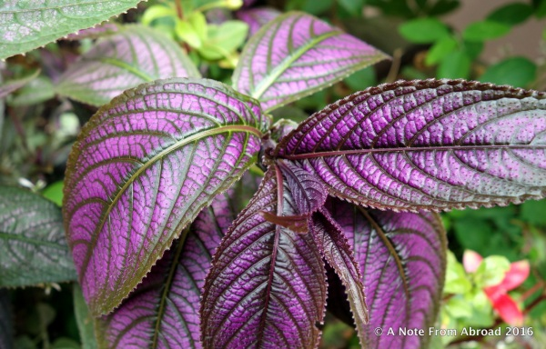 I think a kind of Coleus, but much deeper purple than I am used to seeing